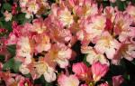 Рододендрон якушиманский посадка и уход, rhododendron percy wiseman