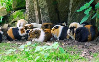 Где в природе живут морские свинки?