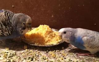Можно ли попугаю давать хлеб?