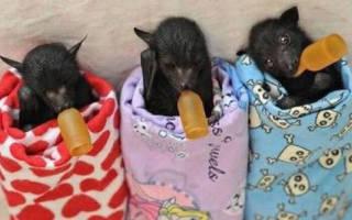 Что едят летучие мыши в домашних условиях?