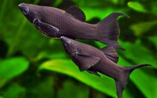 Моллинезия рыбка аквариумная уход и содержание