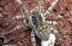 Пауки занесенные в красную книгу: паукообразные Пермского края