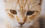 Почему у кота красные глаза?