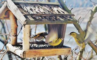 Можно ли кормить голубей пшеном?