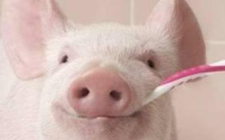Почему свинья скрипит зубами?