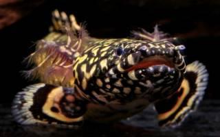 Полиптерус сенегальский содержание в аквариуме