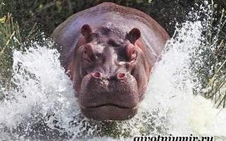 Где бегемоты живут в дикой природе — где обитает гиппопотам?