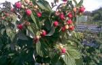 Размножение малины черенками осенью в домашних