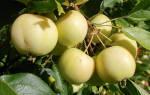 Яблоня уральское наливное описание сорта фото отзывы