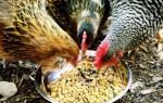 У кур белый понос что делать, у курицы зеленый помет