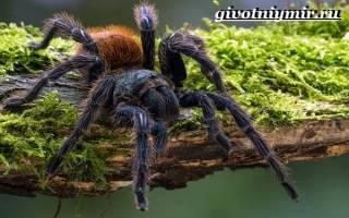 Паук тарантул фото и описание где обитает: интересные факты о тарантулах