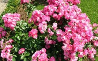 Роза ангела фото и описание
