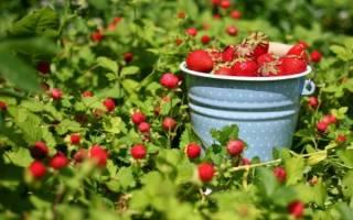 Как получить большой урожай клубники на даче?