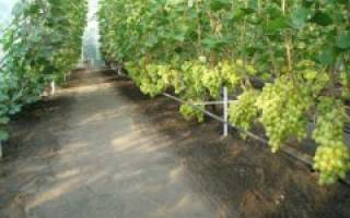 Можно ли выращивать виноград в теплице?