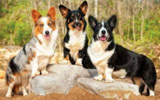 Собака белая с рыжими пятнами – коричневый щенок