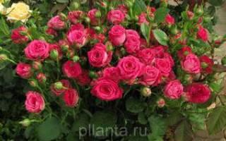 Розы спрей сорта фото и описание
