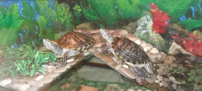 Черепаха в аквариуме уход в домашних условиях