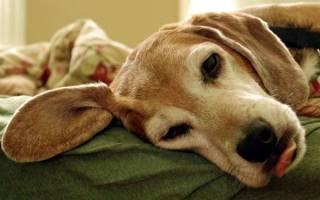 Что делать если собаку рвет желчью?