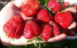 Клубника Елизавета описание сорта фото отзывы садоводов