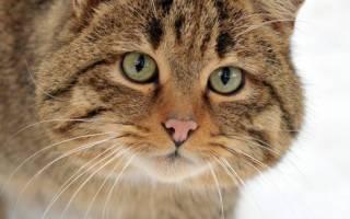 Коты больших пород фото с названиями, самые крупные кошки