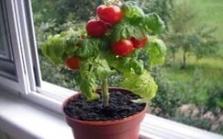 Как вырастить помидоры черри на подоконнике?