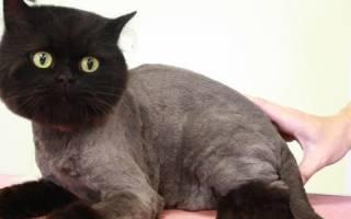 Можно ли стричь котов британцев — стриженный британец
