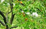 Как правильно обрезать абрикос весной схема?