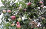 Яблоня июльское черненко описание сорта фото отзывы