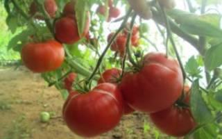Томат мамина любовь отзывы фото урожайность