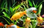 Золотая рыбка комета содержание в аквариуме