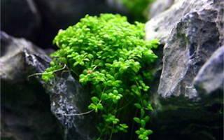 Хемиантус куба аквариумное растение, hemianthus callitrichoides