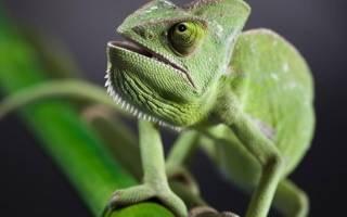 Что ест хамелеон в домашних условиях?