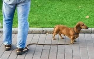 Как приучить щенка таксы к лотку дома?