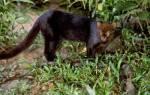 Ягуарунди цена котенка – сколько стоит ягуар животное?