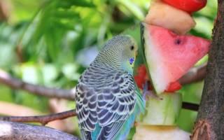 Что кушают волнистые попугаи кроме корма?