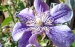 Клематис арабелла фото и описание, clematis arabella