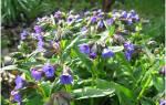 Цветы медуница посадка и уход