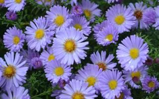 Как называются сентябринки по научному: октябринки цветы