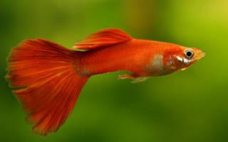 Красные аквариумные рыбки фото с названиями