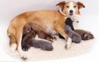 Мастопатия у собаки лечение в домашних условиях