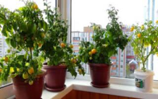 Как правильно вырастить помидоры на балконе – томат балконный