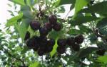 Почему не плодоносит вишня, что делать?