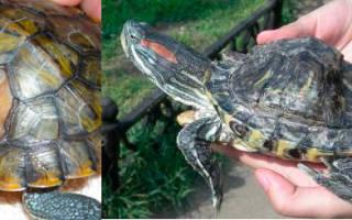 Красноухая черепаха мягкий панцирь как лечить