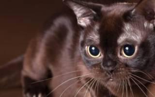 Описание бурманской породы кошек