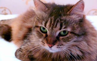 Сибирский кот продолжительность жизни