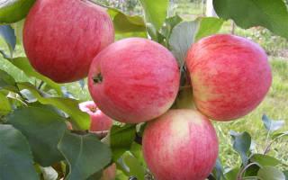 Сорт яблок штрейфлинг фото и описание, штрифель осеннее полосатое