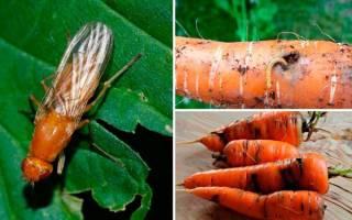 Как защитить морковь от морковной мухи?
