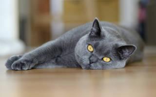 Как воспитать котенка британца?