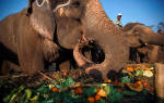 Сколько слон съедает в день?