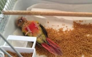 У попугая выпал хвост что делать – выпадение клоаки